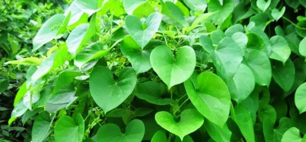 Giloy (Tinospora Cordifolia)