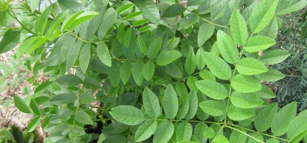 Mulethi (Liquorice)